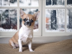 Keeping Chihuahua dogs in the house in winter