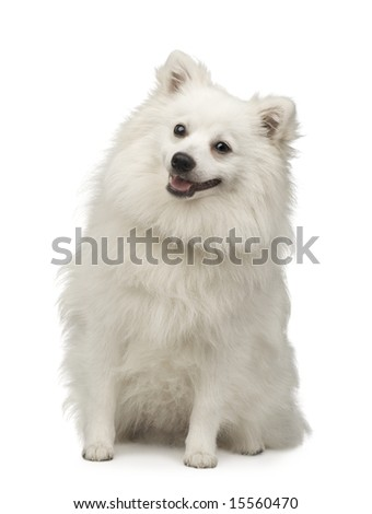 Keeshond (10 months) in front of a white background