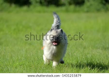keeshond wolfspitz puppy happy running through the grass #1431215879