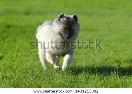 keeshond wolfspitz puppy happy running through the grass #1431215882
