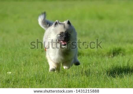 keeshond wolfspitz puppy happy running through the grass #1431215888