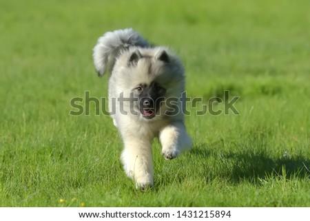 keeshond wolfspitz puppy happy running through the grass #1431215894
