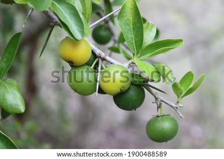Kei apple tree with ripening fruit. Stockfoto ©