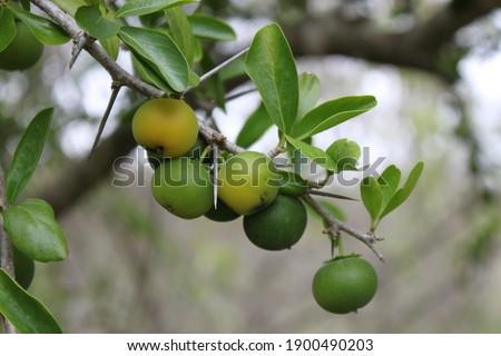 Kei apple tree with ripening fruit cluster. Stockfoto ©