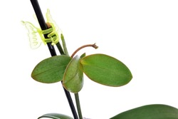Keiki of phalaenopsis orchid, moth orchid. Green leaves and roots are visible.