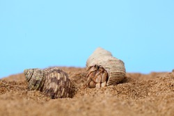 Kelomang or Umang-Umang (pompong), or some who translate it as hermit crabs or hermit crabs, are decapod crustaceans from superfamily Paguroidea
