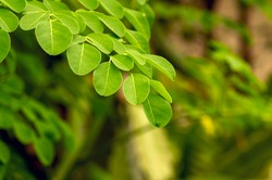 Kelor or Drumstick tree (Moringa oleifera) green leaves selected focus, with common names: horseradish tree, and ben oil tree or benzolive tree.