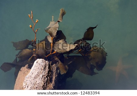 Kelp attached to a deteriorated log with a starfish in the murky water