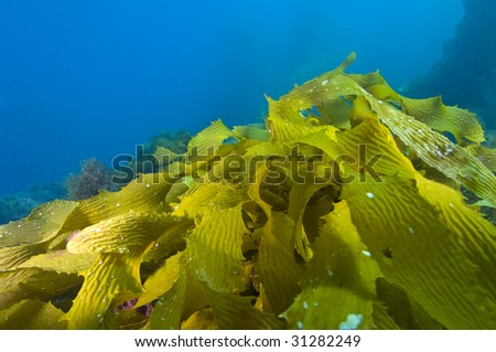 Kelp leaves lit brilliantly from the sun underwater, (Macrocystis pyrifera)