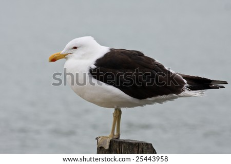 Kelp Seagull on a Post