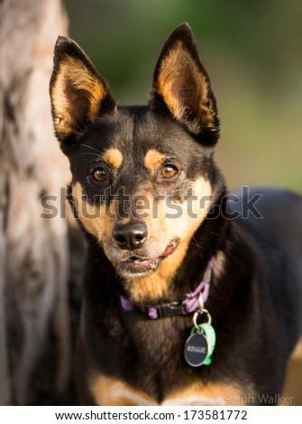kelpie dog profile #173581772