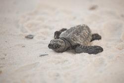 kemp ridley sea turtles babies