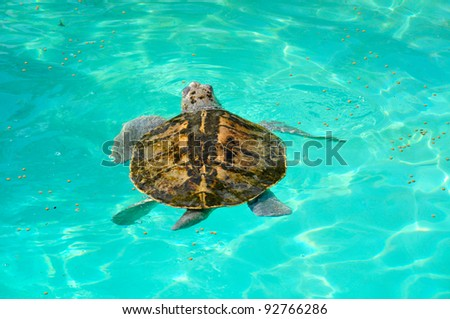 kemp's ridley turtle lora swimming in caribbean sea. Mexico, xcaret