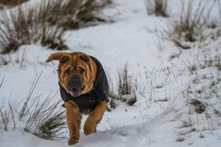 Kennel Club Registered dog breed Shar-Pei playing in the winter snow, United Kingdom