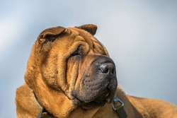 Kennel club registered pedigree dog breed Shar-Pei
