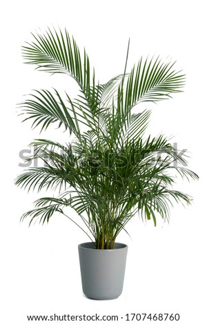 Kentia Palm Tree grey in pots. Houseplant isolated on white background Stock foto ©