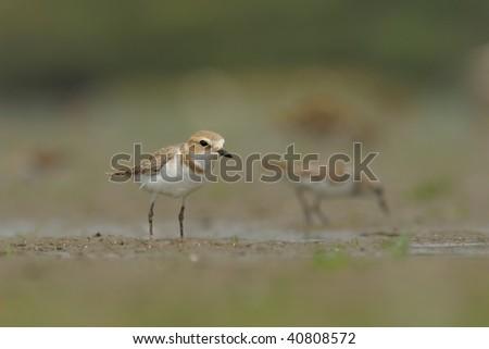 Kentish Plover feeding zone