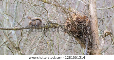 Kentucky grey squirrel sitting near its large nest on tall tree and branch Winter time urban wildlife photography 20109