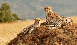 KENYA - AUGUST 11: African Cheetahs (Acinonyx jubatus) on the Masai Mara National Reserve safari in southwestern Kenya.