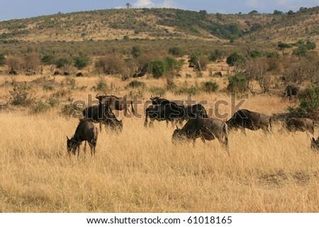 Kenya's Maasai Mara Animal Migration