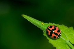 Kepik Merah or Southeast Asian red with black dots ladybug (Coccinellidae) beetle resting and waiting for its prey on top of green leaf isolated in dark green background