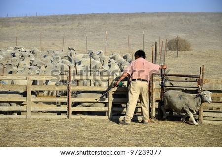 KERN COUNTY, CA - MAR 10:  A ranch hand assists in gathering and sorting shorn sheep for transporting to graze in green alfalfa fields on March 10, 2012, in Kern County, California. - stock photo