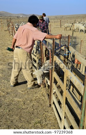 KERN COUNTY, CA - MAR 10:  Today ranch hands are gathering and sorting shorn sheep for transporting to graze in green alfalfa fields on March 10, 2012, in Kern County, California.