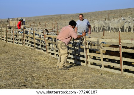 KERN COUNTY, CA - MAR 10:  Today ranch hands are gathering and sorting shorn sheep for transporting to graze in green alfalfa fields on March 10, 2012, in Kern County, California. - stock photo