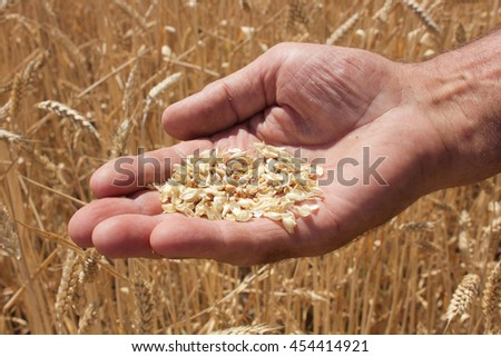 kern in old man's hand with the field on the background #454414921