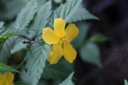 Kerria japonica, also called as Japanese globeflower
