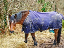 Kerry Bog Pony, Irish origin horse breed, , wears horse blanket in County Kerry, Ireland