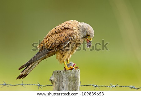 Kestrel and his catch
