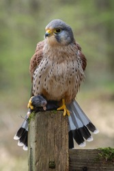 Kestrel bird of prey (Falco tinnunculus) . Adult male perched against autumnal colours in the Yorkshire Countryside with hunted prey ready to eat