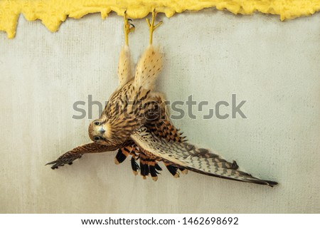 Kestrel flips upside down. The bird hangs in a funny pose. Wrong situation concept.