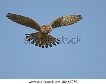 Kestrel in the sky
