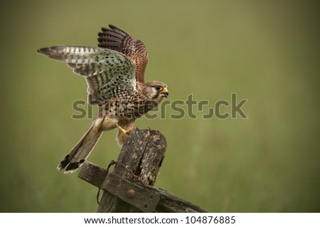Kestrel landing on an old wooden gate. A female Common Kestrel (Falco tinnunculus) has just landed on an old wooden farm gate.