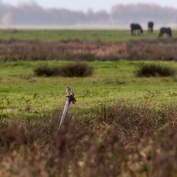 Kestrel with a caught starling bird on a fence post in a river valley landscape with some Friesian horses in the background - Hunzedal, Drenthe, Netherlands.
