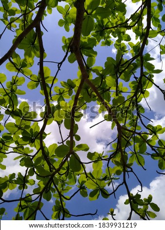 Ketapang tree is a type of woody plant that is well known in Indonesian society. This shade-growing tree is often planted in the yard or along the road as a shade plant.