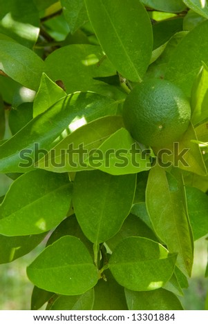 key lime on tree