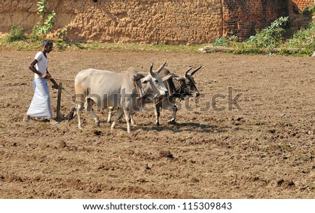 KHAJURAHO, INDIA - NOV 26: Farmer plowing his field on November 26, 2009 in Khajuraho, India. In many parts of India, people use the old, traditional methods using animals rather than machines.
