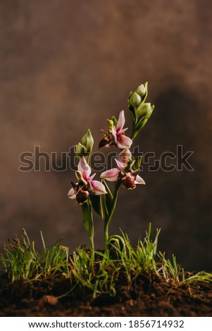 Khari Bulbul flower, symbol of Shusha, Azerbaijan