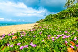 Khlong hin beach at Ko Lanta island, Thailand. Beautiful beach with purple blossom growing on the sand. Flower in bloom near turquoise sea. Concept of tropical vacation near jungle, beach relaxation