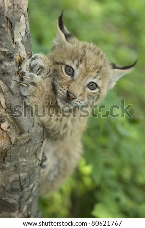 Khrushchev Georgy   lvanovich a kitten of lynx is in natural among  in the taiga  of the Seashore  region ,     Russia