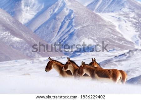 Kiang, Equus kiang, largest of the wild asses, winter mountain codition, Tso-Kar lake, Ladakh, India. Kiang from Tibetan Plateau, in the snow. Wild asses heard, Tibet. Wildlife  nature.         Photo stock ©
