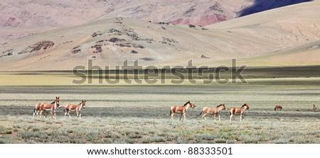 Kiang (Equus kiang)- Tibetan Wild Ass, Ladakh, India