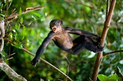 Kid Bonobo plays. The cub of Bonobo frolics in branches of trees. Congo. Natural conditions of dwelling.