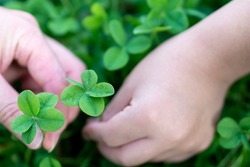 Kid hand holding the Five-leaf clovers (Five-leaf clovers signify
