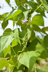 kidney bean plant
