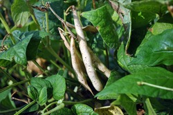 Kidney beans plants, stem with ripe yellow pods on green leaves background