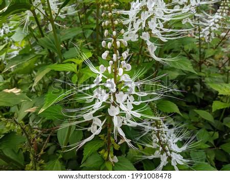 Kidney tea, Cat's whiskers, Java tea (Orthosiphon aristatus) herbal plants to treat diabetes, kidney inflammation and gout Foto stock ©